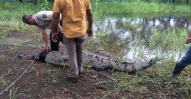 Tamarindo-crocodile